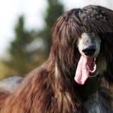 Счастливая афганская борзая собаки Стоковое фото RF