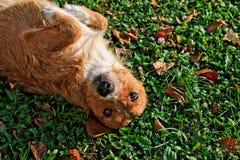 Счастливая завальцовка собаки в траве Стоковая Фотография RF