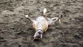 Счастливая завальцовка собаки на пляже Стоковые Изображения