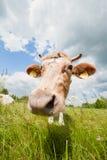 Счастливая и любопытная корова в экологической ферме Стоковая Фотография