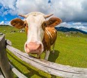 Счастливая корова в горах Стоковое фото RF