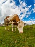 Счастливая корова в горах Стоковое Изображение RF