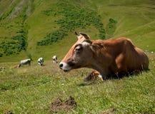 Счастливая корова отдыхает Стоковое Изображение