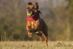 Счастливая собака бежать с шариком в открытом пространстве Стоковое Изображение