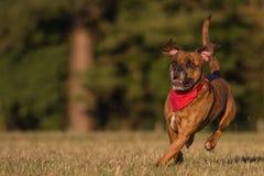 Счастливая собака бежать с Bandana Стоковая Фотография RF