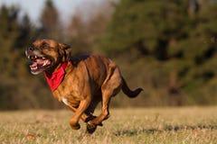 Счастливая собака бежать с Bandana Стоковые Фото