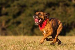 Счастливая собака бежать с Bandana Стоковое Изображение RF