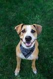 Счастливая собака в bandana смотря вверх Стоковая Фотография