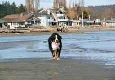 Счастливая собака горы Bernese бежать на пляже Стоковое фото RF