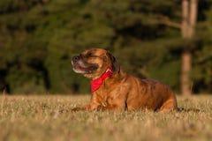 Счастливая собака кладя вниз с усмехаться с Bandana Стоковая Фотография RF