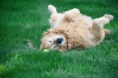 Счастливая собака на его задняя часть чувствуя землю Стоковое Изображение