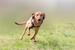 Счастливая собака охоты бежать на парке Стоковое Фото