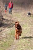 Счастливая собака сеттера для прогулки стоковые изображения
