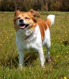 Счастливая собака стоя в зеленом поле Стоковая Фотография RF