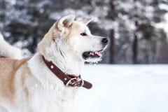 Счастливая собака akita Стоковое Фото