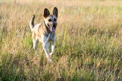 Счастливая шавка собаки бежит через поле на солнечный день стоковое изображение rf