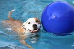 Счастливое заплывание собаки стоковая фотография rf