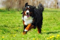 Счастливые красивые бега собаки горы Bernese потеха Стоковые Фото