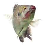 Счастливые рыбы тилапии изолированные на белизне Стоковые Изображения RF