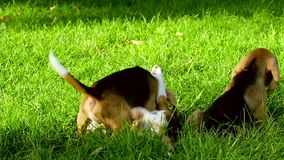 Счастливые собаки бигля в парке движение медленное сток-видео