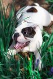 Счастливый английский бульдог Стоковые Фото