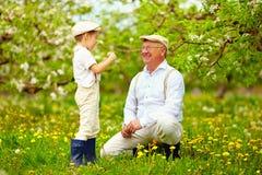 Счастливый внук, и grandpa имея сад потехи весной, дуя одуванчики стоковые фотографии rf