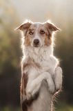 Счастливый коричневый портрет Коллиы границы собаки Стоковое фото RF