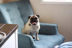 Счастливый мопс на голубом стуле Стоковая Фотография