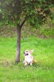 Счастливый Пембрук Corgi Welsh собаки сидя на зеленой траве около дерева в лете Стоковая Фотография RF