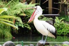 Счастливый пеликан пеликана a, изрекает широко открытое и положение на штабелевке, счастливо о его пиршестве утра рыб в Юпитере,  Стоковые Изображения RF