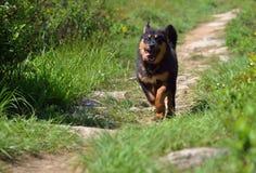 Счастливый тибетский Mastiff Стоковые Фотографии RF