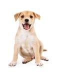 Счастливый щенок лаборатории чабана Стоковые Изображения