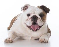 счастливый щенок бульдога Стоковые Фото