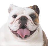счастливый щенок бульдога Стоковое Фото