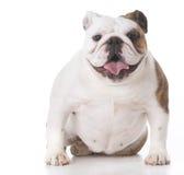 счастливый щенок бульдога Стоковые Фотографии RF