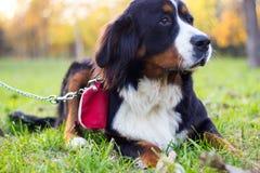 Счастливый щенок горы Bernese Стоковые Фото