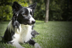 Счастливый щенок Коллиы границы в саде, с papillon в голове Стоковое Изображение RF