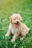 счастливый щенок пуделя Стоковая Фотография