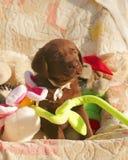 Счастливый щенок labrador шоколада с игрушками Стоковая Фотография RF