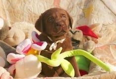 Счастливый щенок labrador шоколада с игрушками Стоковые Фото