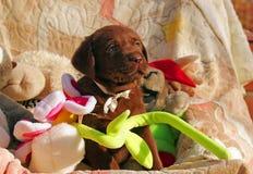Счастливый щенок labrador шоколада с игрушками Стоковые Фотографии RF