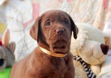 Счастливый щенок labrador шоколада Стоковые Фотографии RF