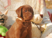 Счастливый щенок labrador шоколада Стоковые Фото