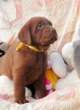Счастливый щенок labrador шоколада Стоковое Изображение RF