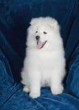 Счастливый щенок Samoyed Стоковое Фото