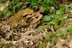 2 счастливых жабы Стоковые Изображения