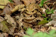 2 счастливых жабы Стоковое Фото