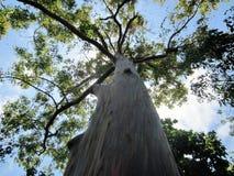 США, Флорида, дерево эвкалипта радуги стоковое изображение