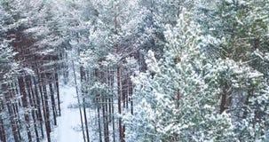 съемка антенны 4K Полет над ландшафтом зимы замороженного снежного елевого леса северным Взгляд сверху вектор природы предпосылки сток-видео