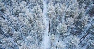 съемка антенны 4K Полет над ландшафтом зимы замороженного снежного елевого леса северным Взгляд сверху вектор природы предпосылки акции видеоматериалы